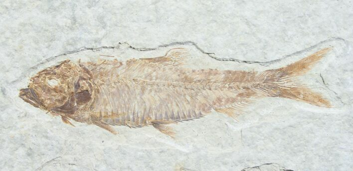 "3.2"" Knightia Fossil Fish - Wyoming"