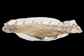 "8.0"" Fossil Mosasaur (Tethysaurus) Jaw Section  - Goulmima, Morocco For Sale, #107093"