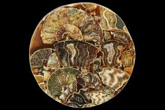 "Buy 4.3"" Composite Plate Of Agatized Ammonite Fossils - #107326"