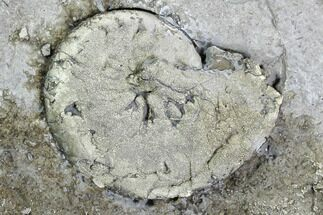 Tornoceras uniangulare widderi - Fossils For Sale - #107523
