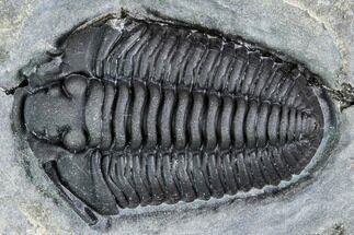 "Buy .85"" Gravicalymene Trilobite - Lorraine Group, Quebec - #107533"