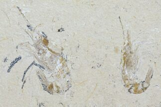 Carpopenaeus callirostris - Fossils For Sale - #107652