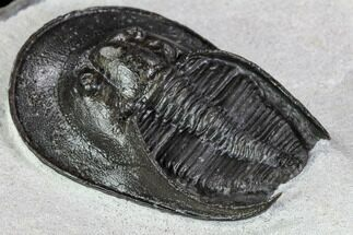 "1.75"" Scotoharpes Trilobite - Exquisite Preparation For Sale, #108185"