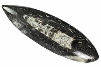 "7.4"" Polished Orthoceras (Cephalopod) - Morocco For Sale, #108053"