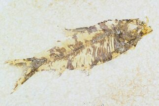 "Buy 3.2"" Fossil Fish Plate (Knightia) - Wyoming - #108283"