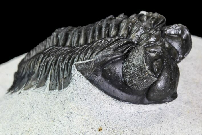 "1.55"" Coltraneia Trilobite Fossil - Huge Faceted Eyes"