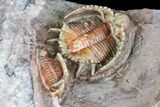 Beautiful Basseiarges Trilobite With Partial - Jorf, Morocco - #108757-5