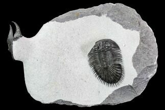 Buy Thysanopeltis & Scotoharpes Trilobite Association - Boudib, Morocco - #108799