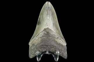 "Serrated, 3.41"" Fossil Megalodon Tooth - Georgia For Sale, #108863"