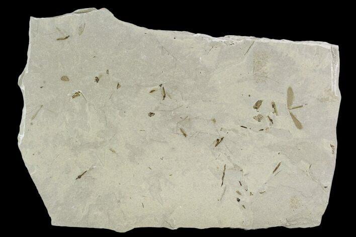 Fossil Cranefly Cluster - Green River Formation, Utah