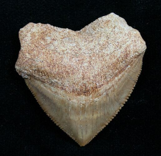 Squalicorax Fossil Shark Tooth - Morocco