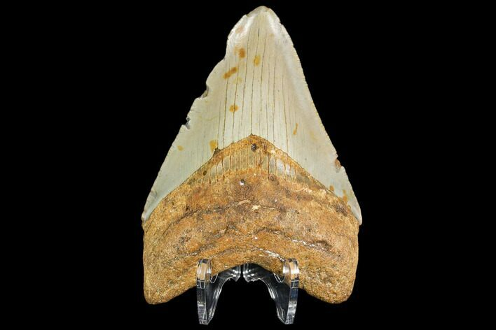 "4.09"" Fossil Megalodon Tooth - North Carolina"