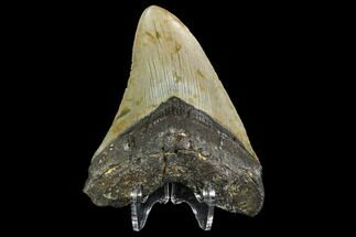 "4.38"" Fossil Megalodon Tooth - North Carolina For Sale, #108992"
