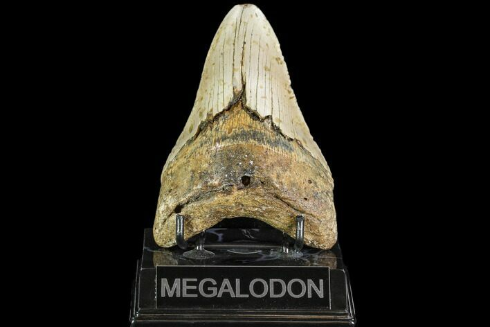 "4.59"" Fossil Megalodon Tooth - North Carolina"