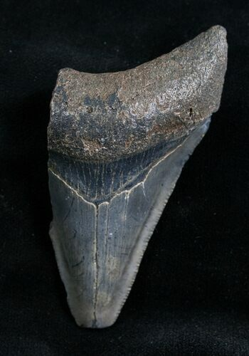 "Bargain 2.80"" Megalodon Tooth - Florida"