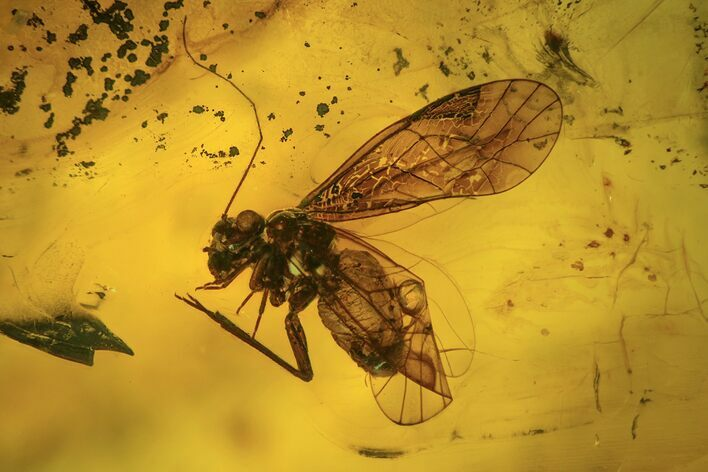 Fossil Booklouse (Psocoptera) In Baltic Amber