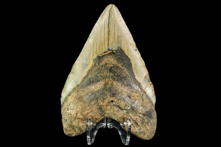"4.47"" Fossil Megalodon Tooth - North Carolina"
