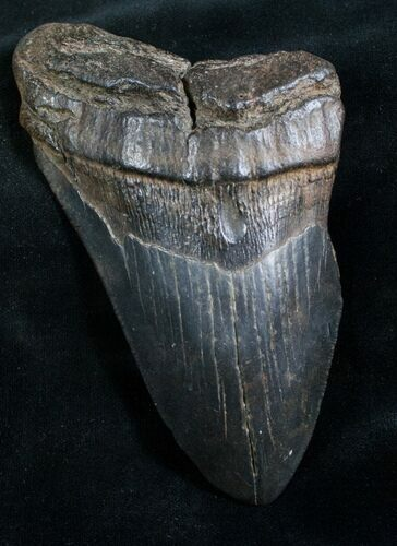 "Bargain 4.92"" Megalodon Tooth - South Carolina"