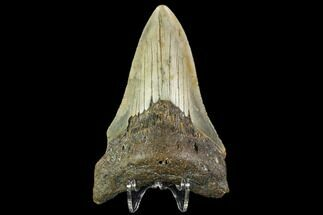 Carcharocles megalodon - Fossils For Sale - #109869