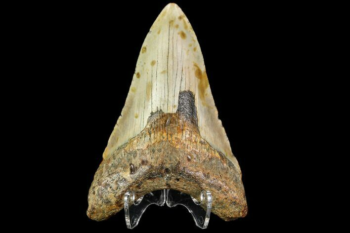 "3.8"" Fossil Megalodon Tooth - North Carolina"