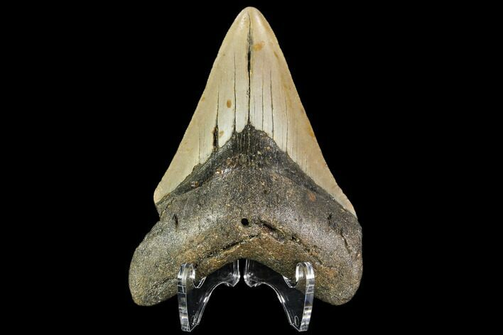 "3.86"" Fossil Megalodon Tooth - North Carolina"