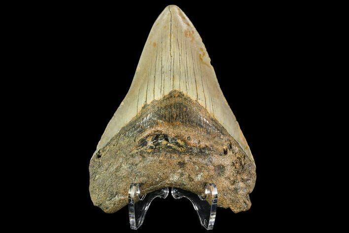 "3.93"" Fossil Megalodon Tooth - North Carolina"
