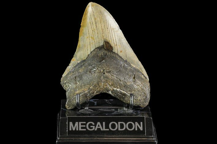 "4.77"" Fossil Megalodon Tooth - North Carolina"