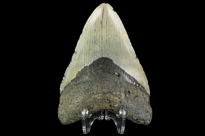 "4.24"" Fossil Megalodon Tooth - North Carolina"