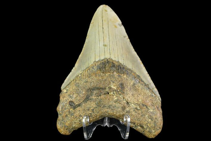 "3.69"" Fossil Megalodon Tooth - North Carolina"