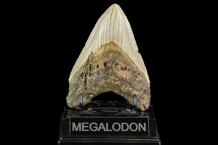 "4.6"" Fossil Megalodon Tooth - North Carolina"