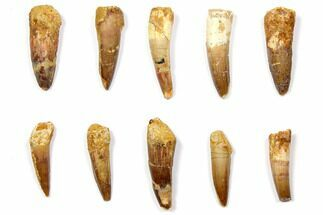 "Wholesale Lot: 1.5 to 2.1"" Bargain Spinosaurus Teeth - 10 Pieces For Sale, #108551"