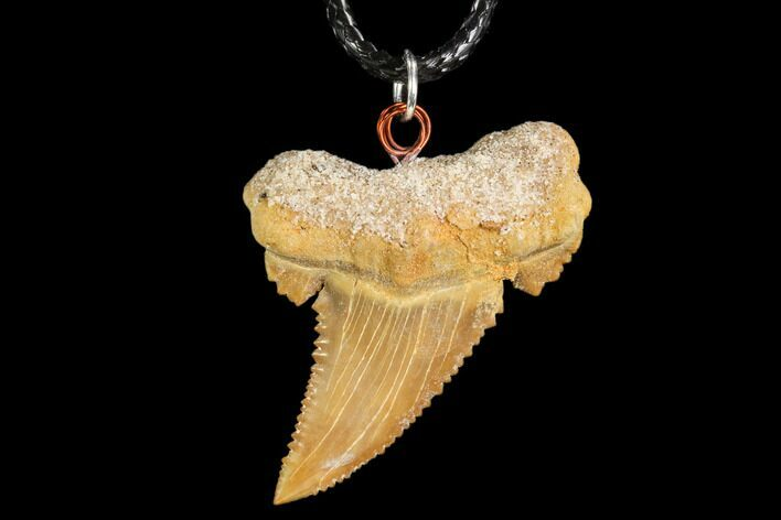 "1.5"" Fossil Shark (Palaeocarcharodon) Tooth Necklace -Morocco"