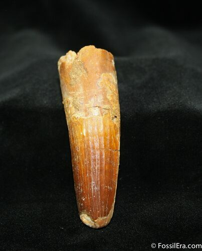 2.81 Inch Spinosaurus Tooth - Partial Root