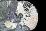 "1.35"" Discoscaphites Gulosus Ammonite With Gastropods - South Dakota - #110582-2"