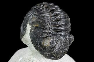 "Bargain, 2.6"" Enrolled Pedinopariops Trilobite - Mrakib, Morocco For Sale, #110663"
