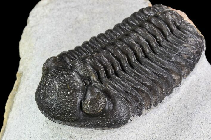 "2.05"" Adrisiops Weugi Trilobite - Recently Described Phacopid"