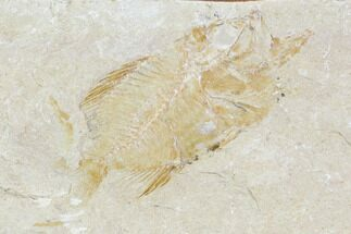"Bargain, 1.8"" Cretaceous Fossil Fish - Lebanon For Sale, #110852"