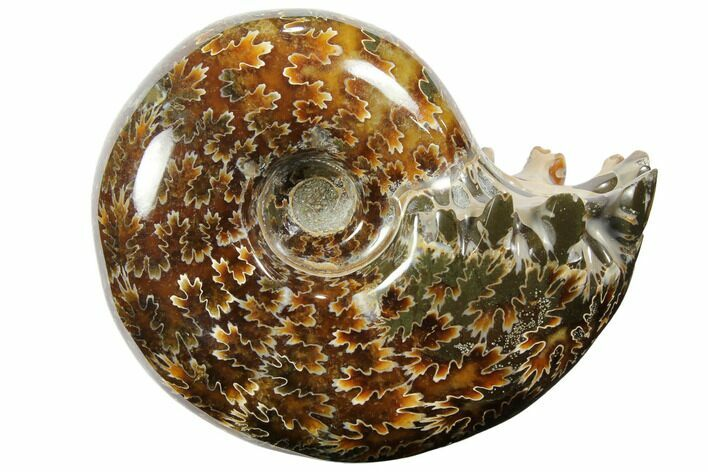 "3.4"" Polished, Agatized Ammonite (Cleoniceras) - Madagascar"
