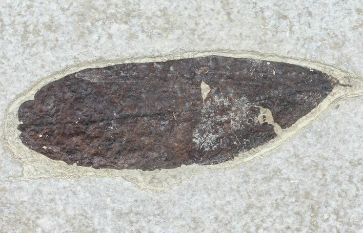 "2.9"" Fossil Leaf - 18 Inch Layer, Green River Formation"