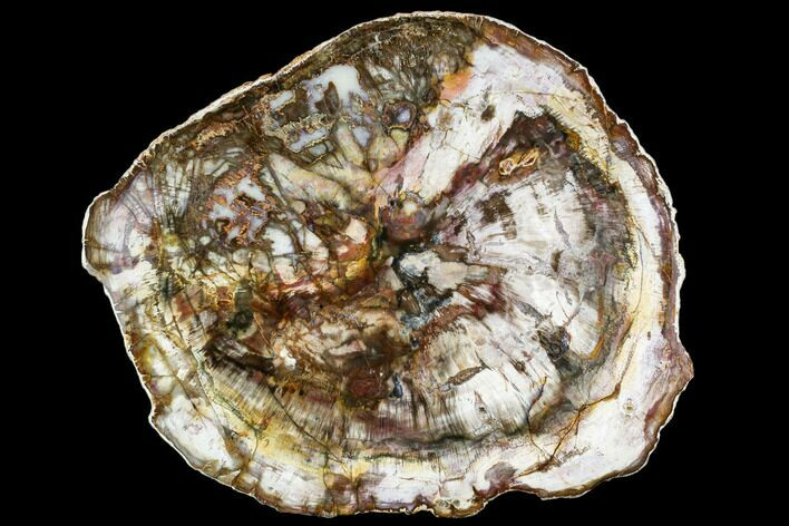 "14.2"" Petrified Wood Round - Madagascar (Top Quality)"