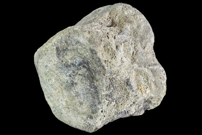 "3.1"" Hadrosaur Vertebra Centrum - Alberta (Disposition #000024-25)"