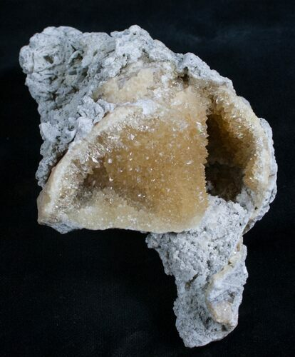 "4"" Fossil Whelk With Golden Calcite Crystals"
