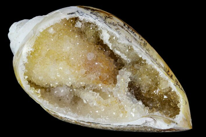 "1.9"" Chalcedony Replaced Gastropod With Druzy Quartz - India"