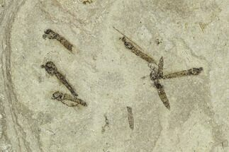 Buy Fossil Crane Fly (Pronophlebia) Cluster - Green River Formation, Utah - #111397