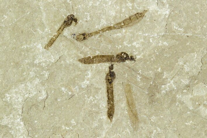 Fossil Crane Fly (Pronophlebia) Cluster - Green River Formation, Utah