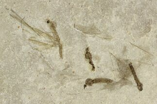 Tipulidae - Fossils For Sale - #111402