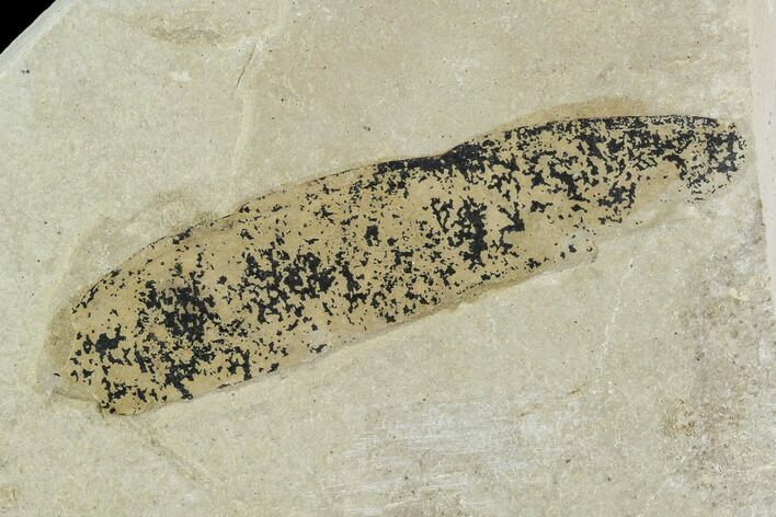 "2.4"" Fossil Legume (Mimosites) Pod - Green River Formation, Utah"