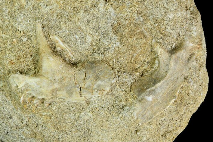 "1.6"" Enchodus Jaw Section in Rock - Morocco"