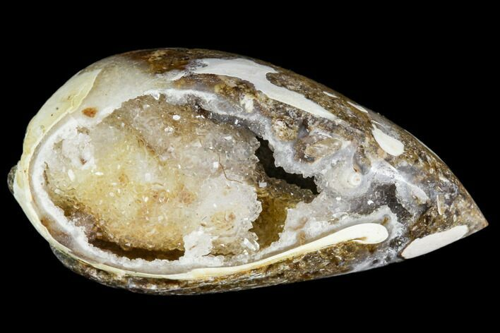 "1.15"" Chalcedony Replaced Gastropod With Druzy Quartz - India"