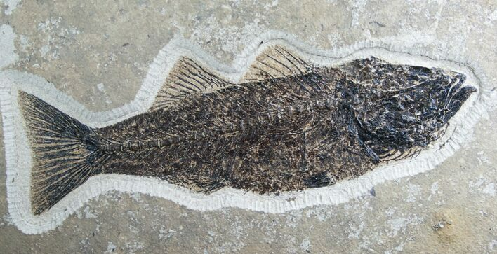 "13"" Mioplosus Fossil Fish - Ready To Hang"